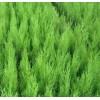 西安市周至县里绿周苗圃